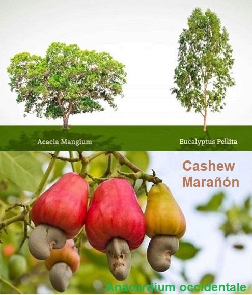 My Trees Global: Nella fattoria El Morichal di Vichada, Colombia, coltiviamo alberi a crescita rapida: eucalipto, acacia e anacardi